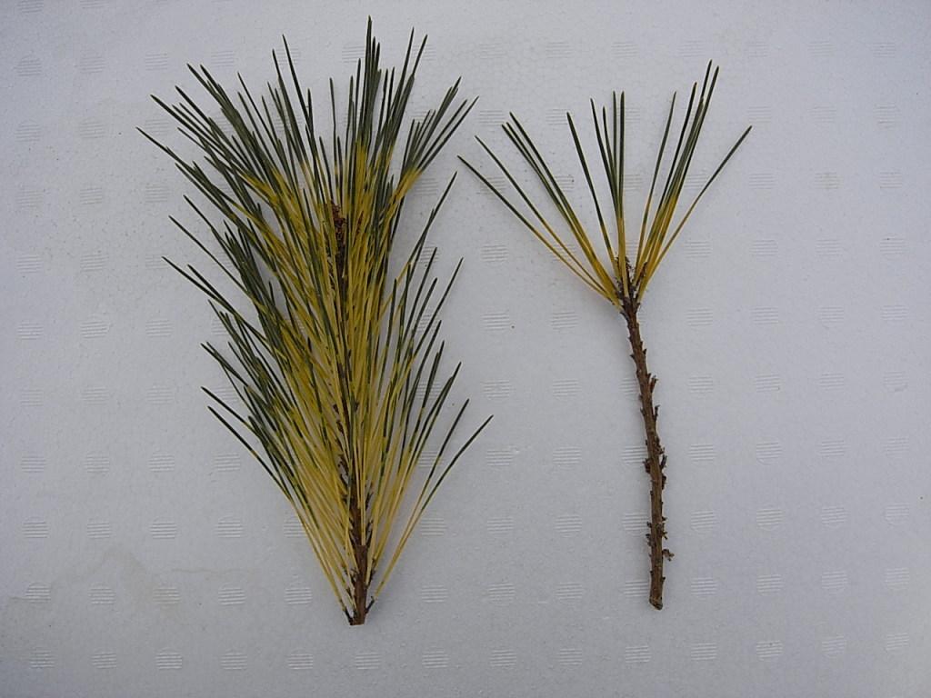 接ぎ木(腹接ぎ):穂木の調整