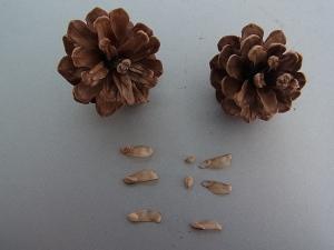 松ぼっくりと種子