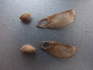 マツの種子
