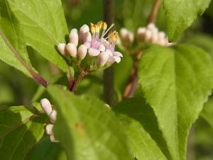 ムラサキシキブの花