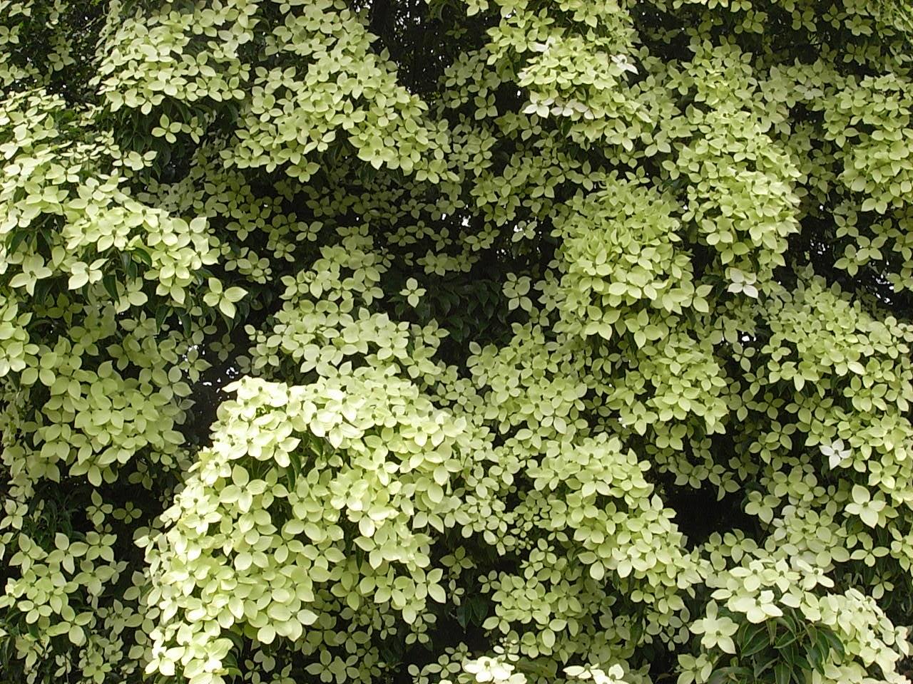 常緑ヤマボウシ