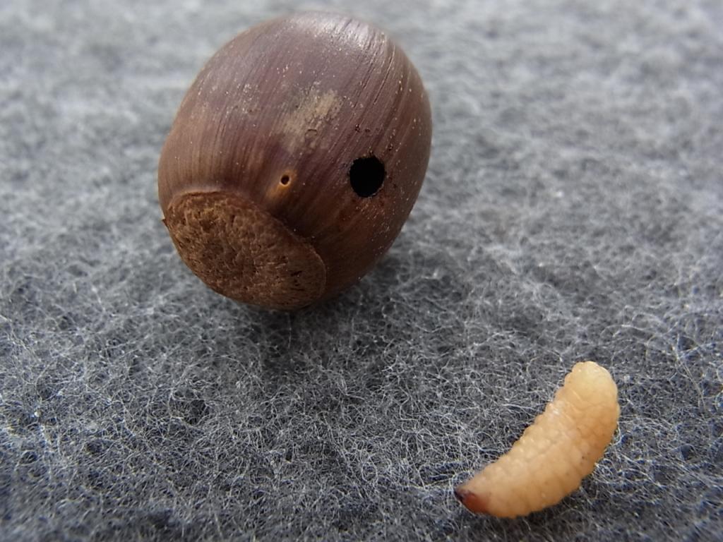 クヌギの害虫