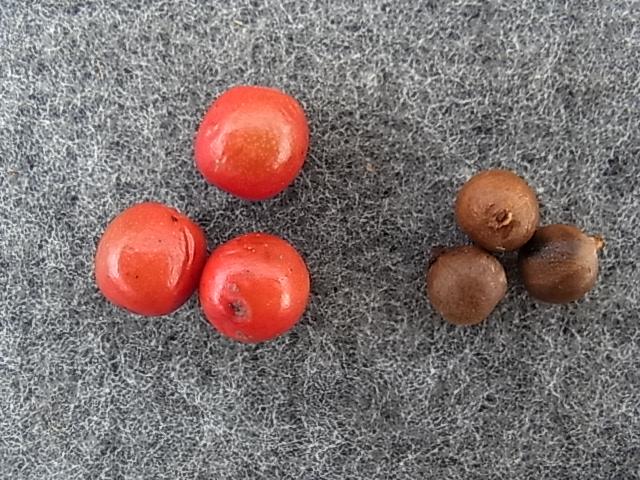 シロダモの種子
