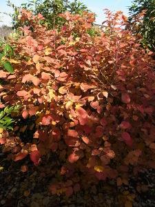 シロバナマンサクの紅葉