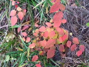 アカシデの紅葉