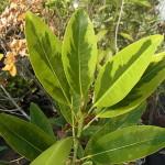 常緑ヒメタイサンボク'マッティ・メイ・スミス'(Magnolia virginiana var.australis'Mattie Mae Smith')