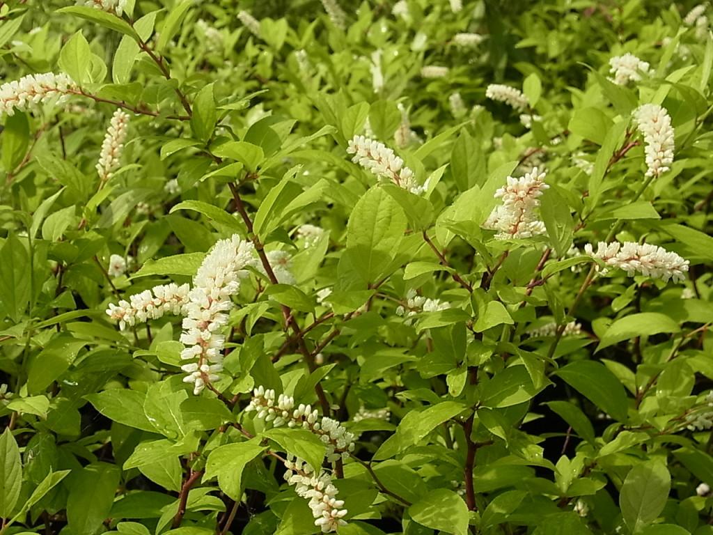 コバノズイナの花