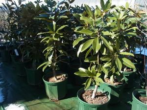 直立性タイサンボク'アルタ'(Magnolia grandiflora'Alta')
