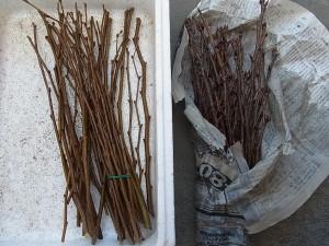 後継樹繁殖のための穂木(ケヤキとサクラ)
