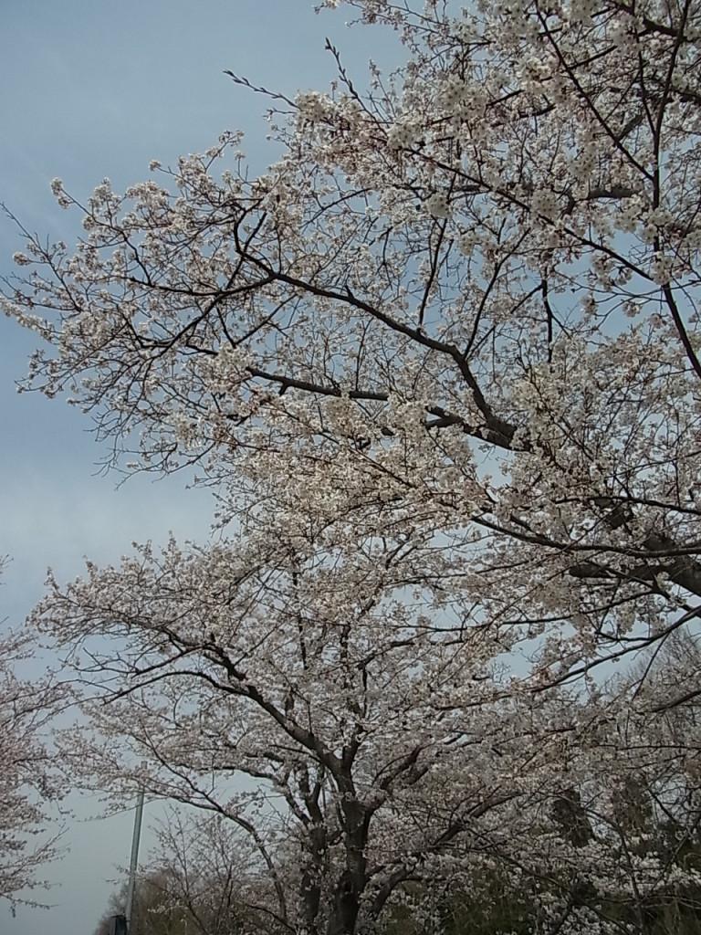 ソメイヨシノの画像 p1_24