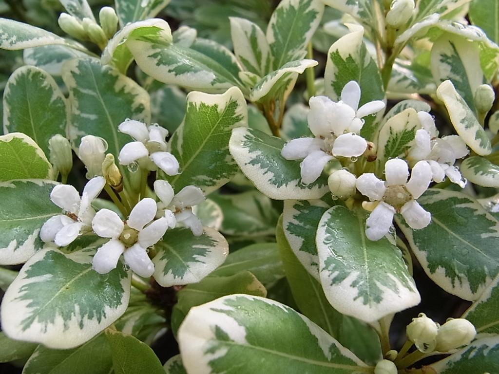 フイリトベラの花