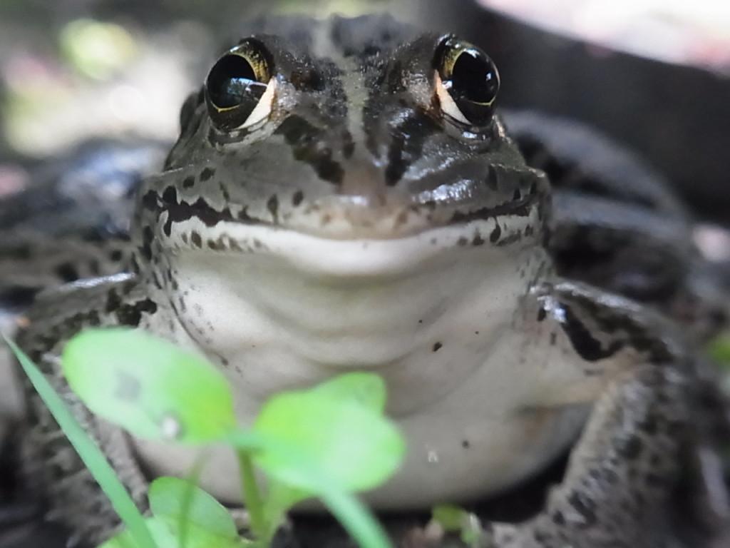 トウキョウダルマガエル