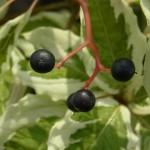 フイリミズキの種子