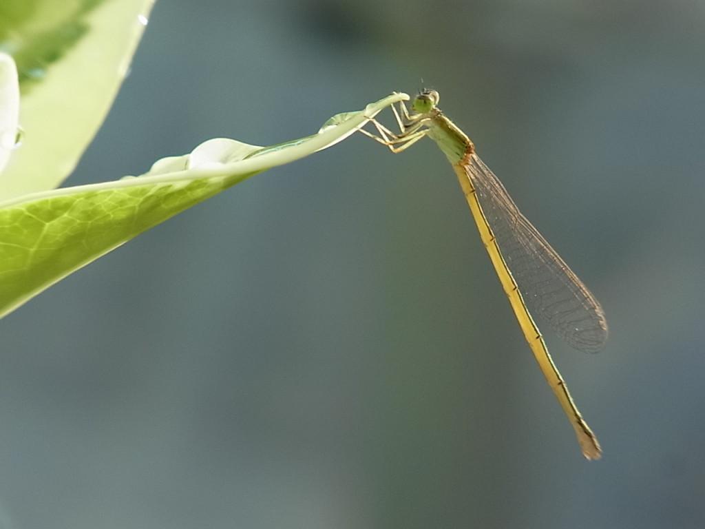 キイトトンボ(♀)