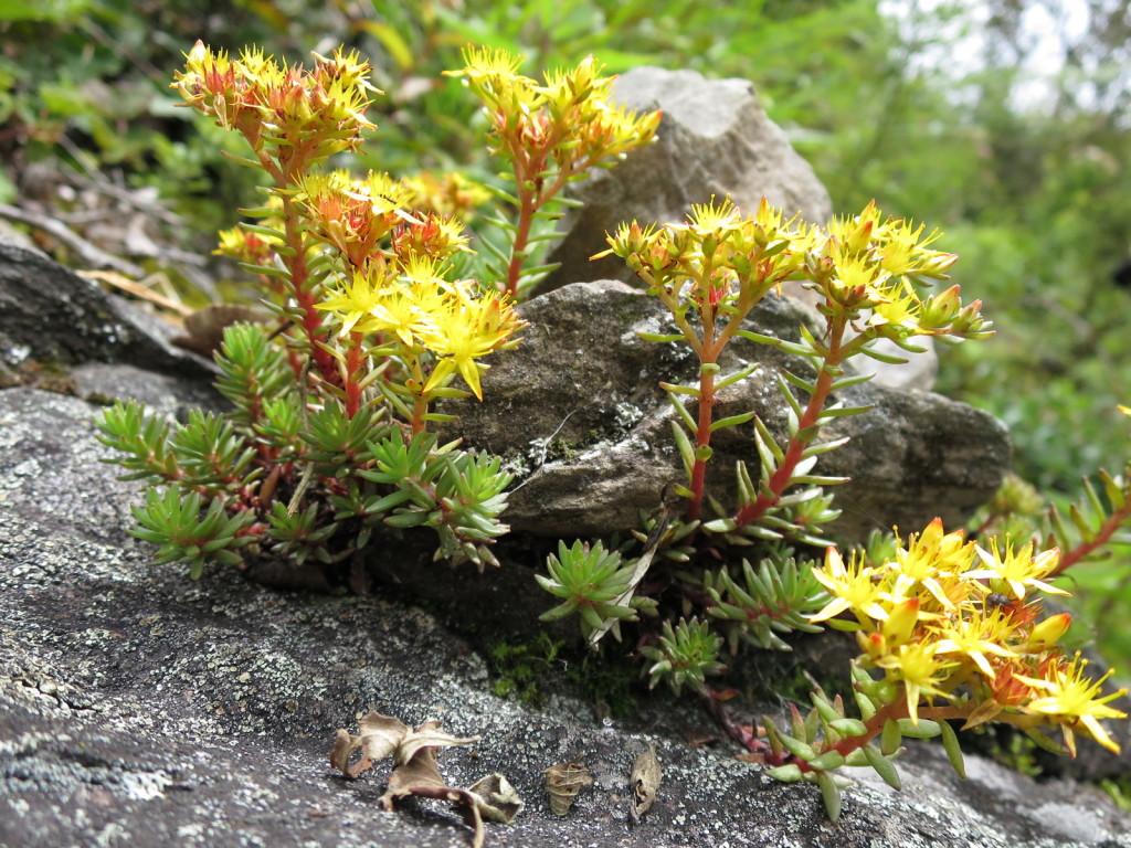 台湾の高山植物:マンネングサの仲間①