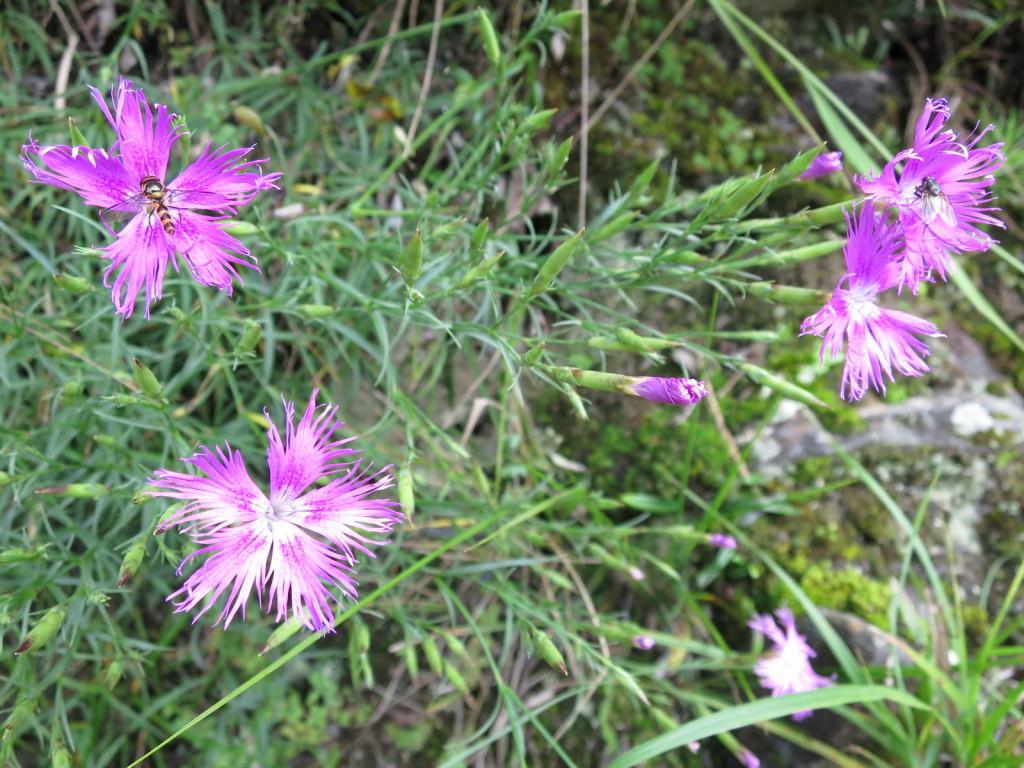 台湾の高山植物:ナデシコの仲間
