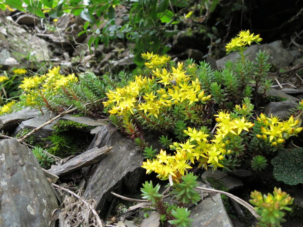 台湾の高山植物:マンネングサの仲間②
