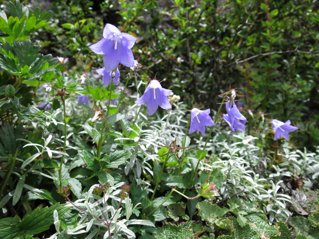 台湾の高山植物:ミヤマシャジンの仲間