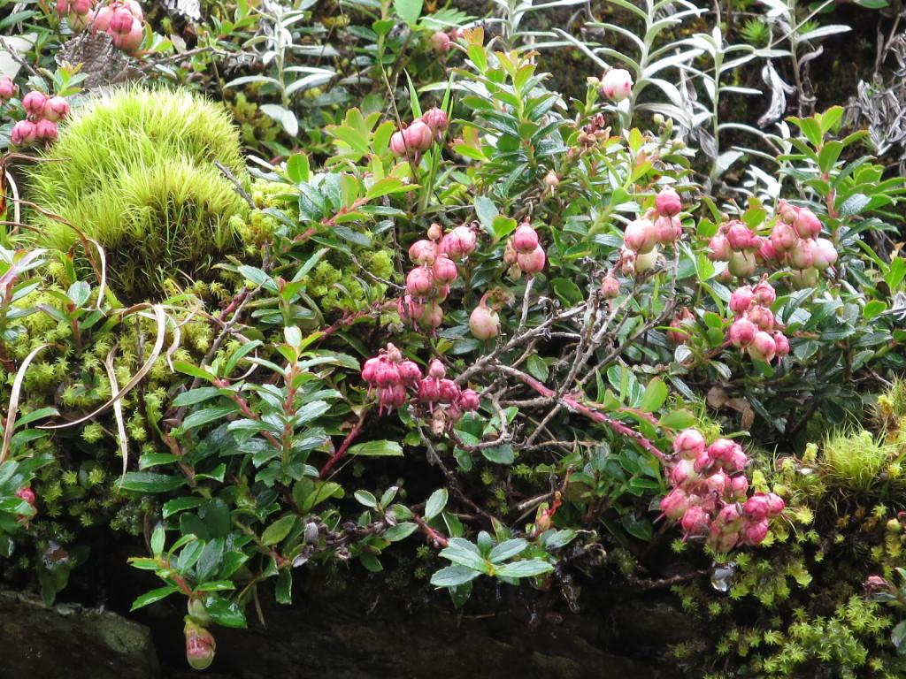 台湾の高山植物:コケモモの仲間