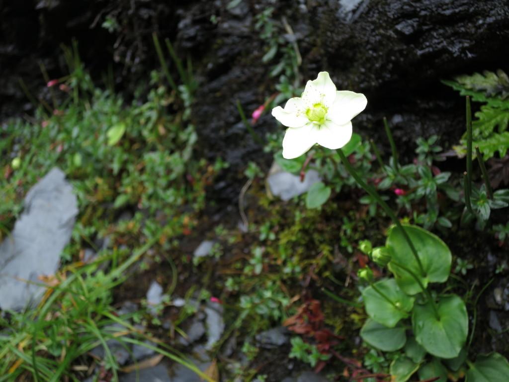台湾の高山植物:ウメバチソウの仲間