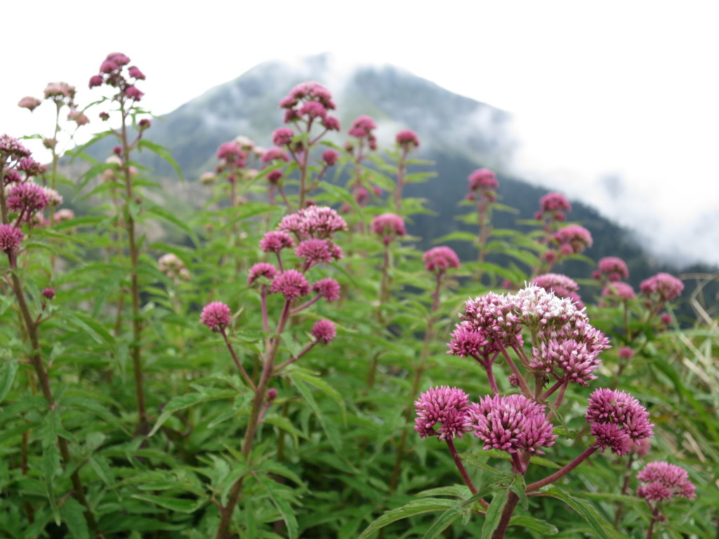 台湾の高山植物:ヒヨドリバナの仲間