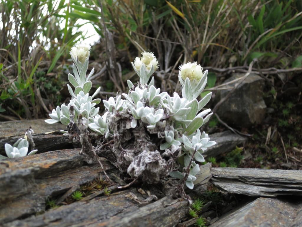 台湾の高山植物:ウスユキソウの仲間