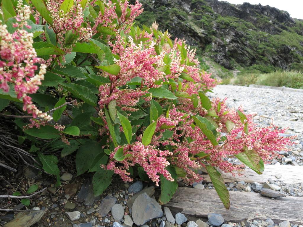 台湾の高山植物:イタドリの仲間