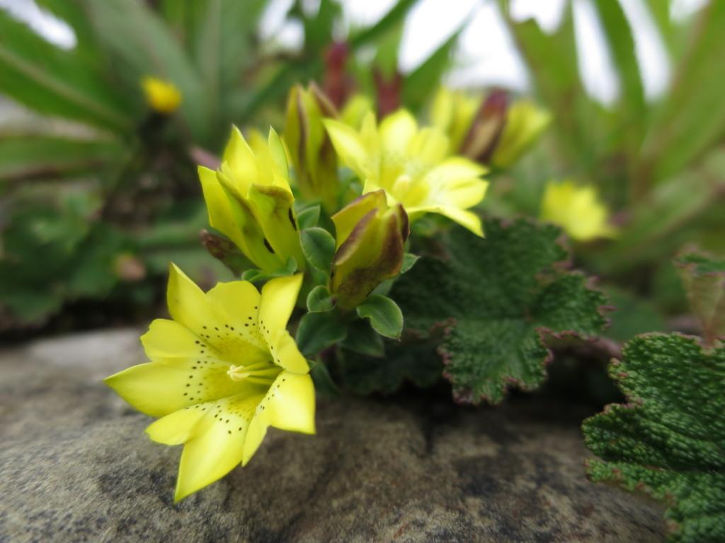 台湾の高山植物:黄花リンドウ