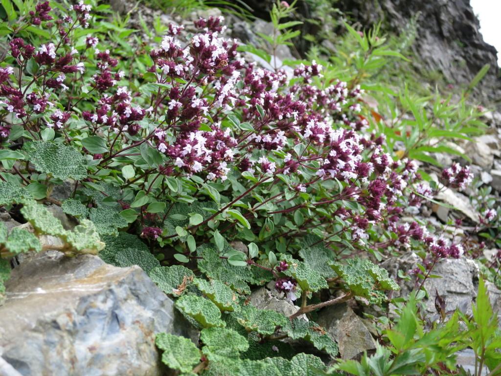台湾の高山植物:オレガノの仲間