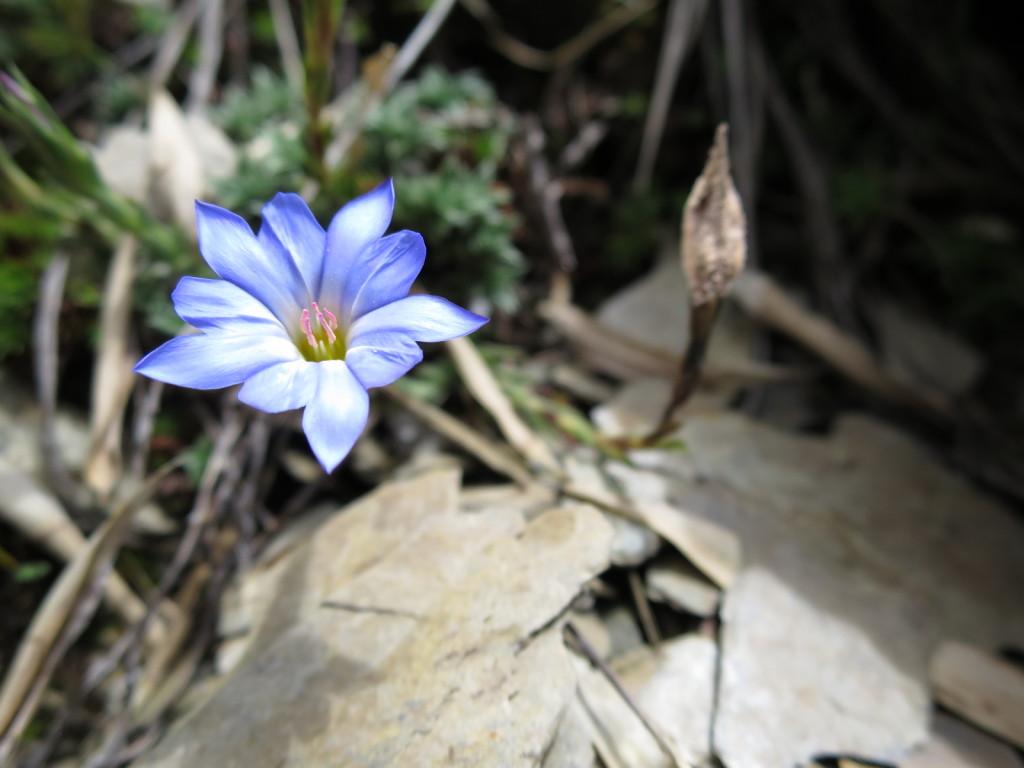 台湾の高山植物:阿里山リンドウ