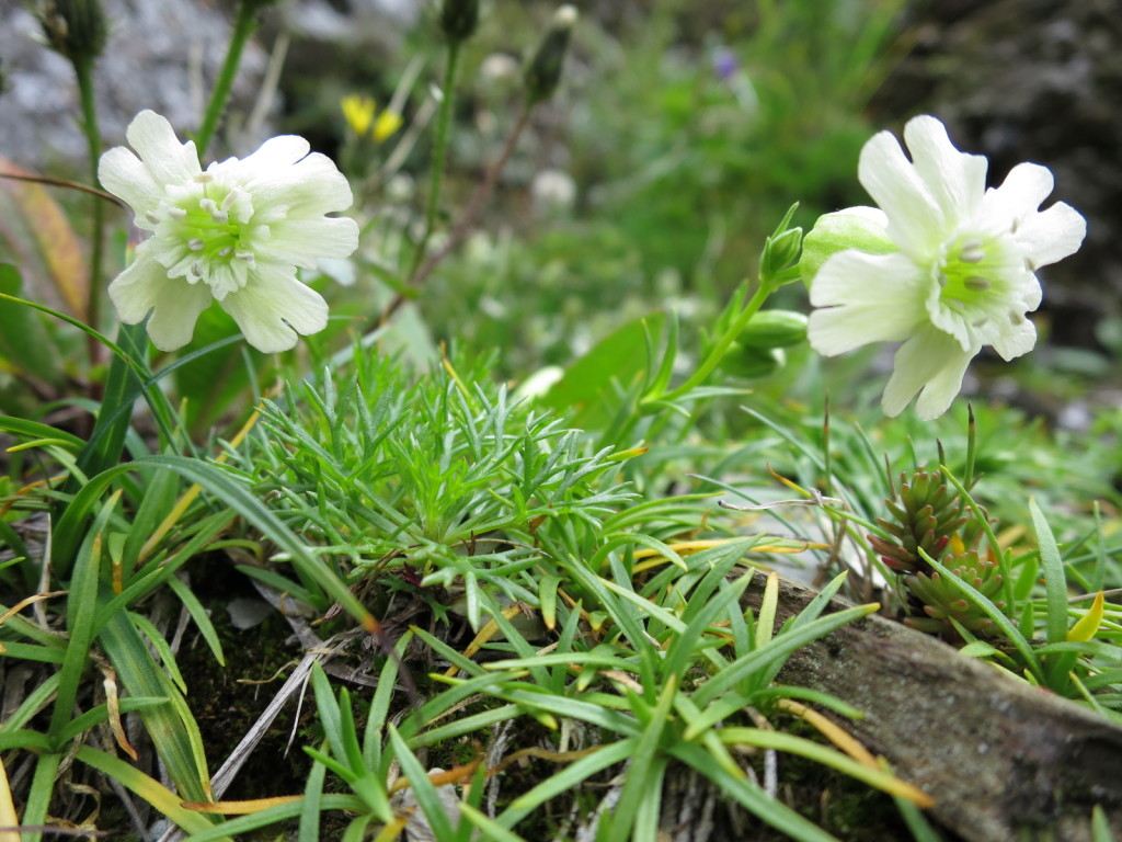 台湾の高山植物:マンテマの仲間