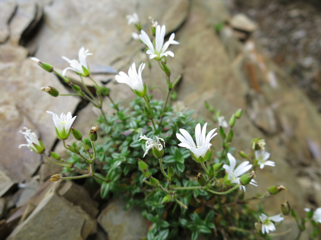 台湾の高山植物:ミミナグサの仲間