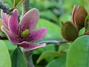 アカバナオガタマ(紫花含笑:Michelia crassipes)