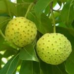 ヒマラヤヤマボウシ'マウンテンムーン'の果実