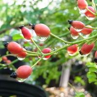 トゲナシテリハノイバラの果実