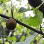 ハンカチノキの果実