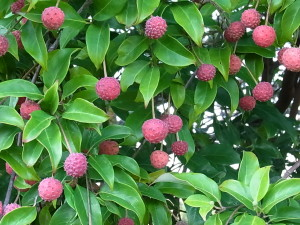 常緑ヤマボウシの果実