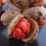 ミヤマガンショウの種子