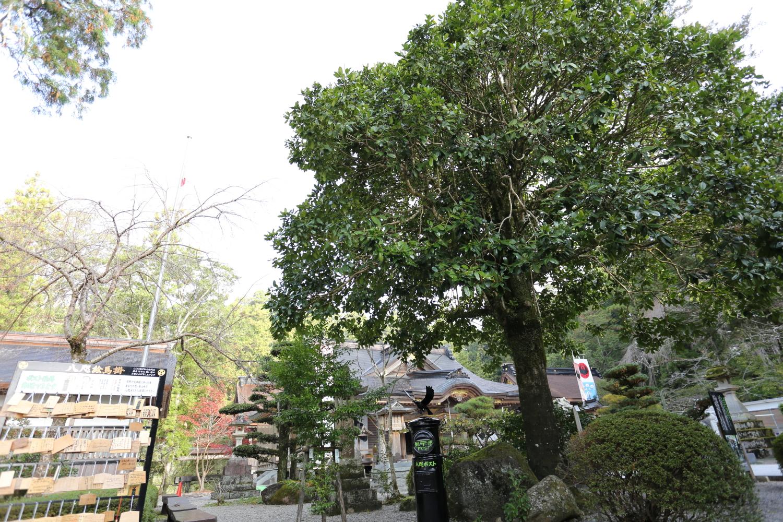 熊野本宮大社のタラヨウ