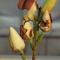 ヒヨドリの食害(ミヤマガンショウ)