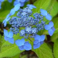 ヤマアジサイ'藍姫'
