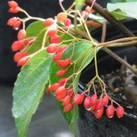 ハクサンボクの果実