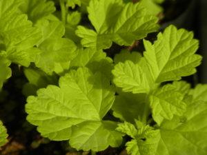 ナワシロイチゴ黄金葉(ルブス'サンシャイン スプレッダー')