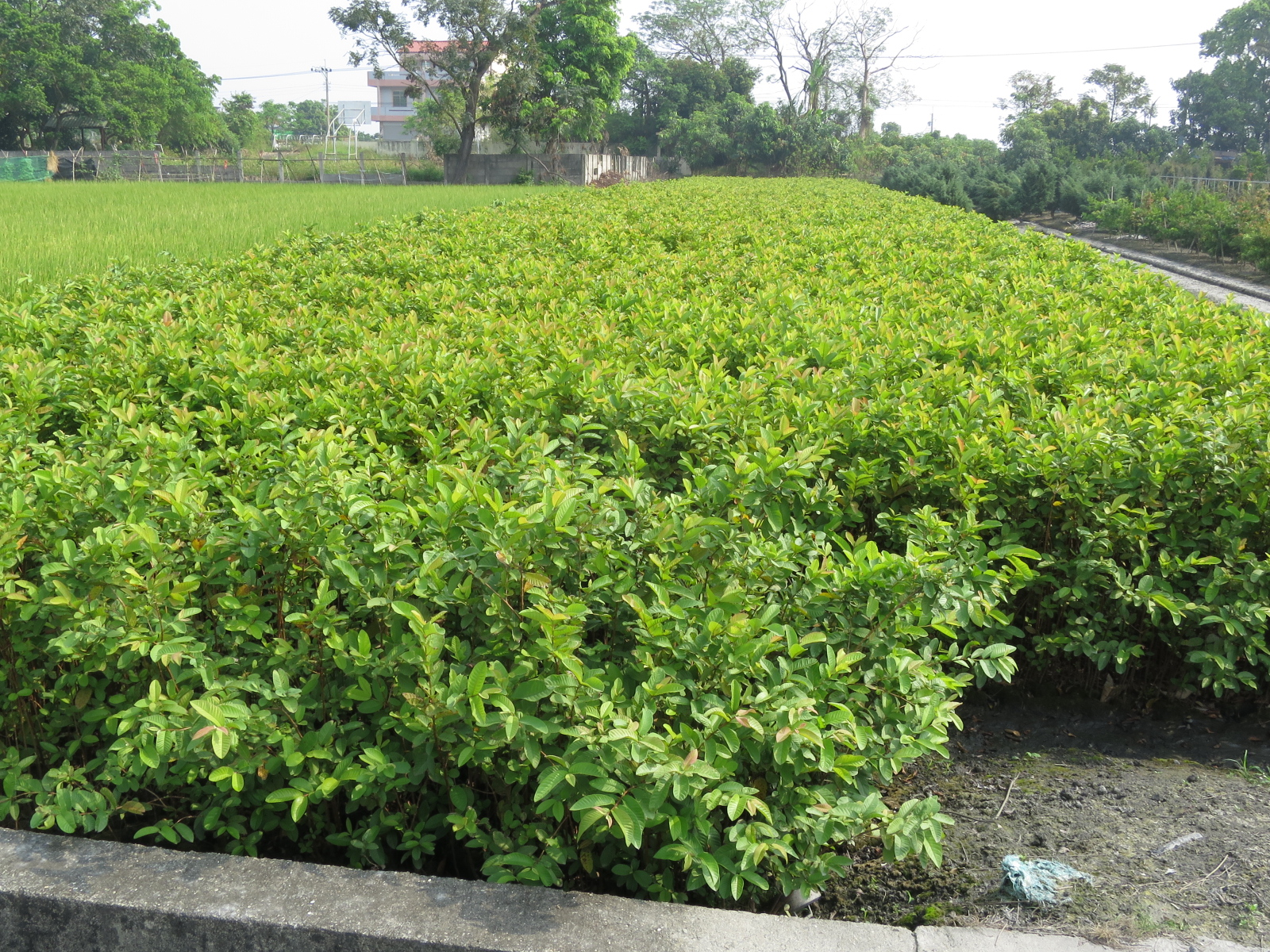 台湾の接ぎ木(マンゴ-の実生台木)
