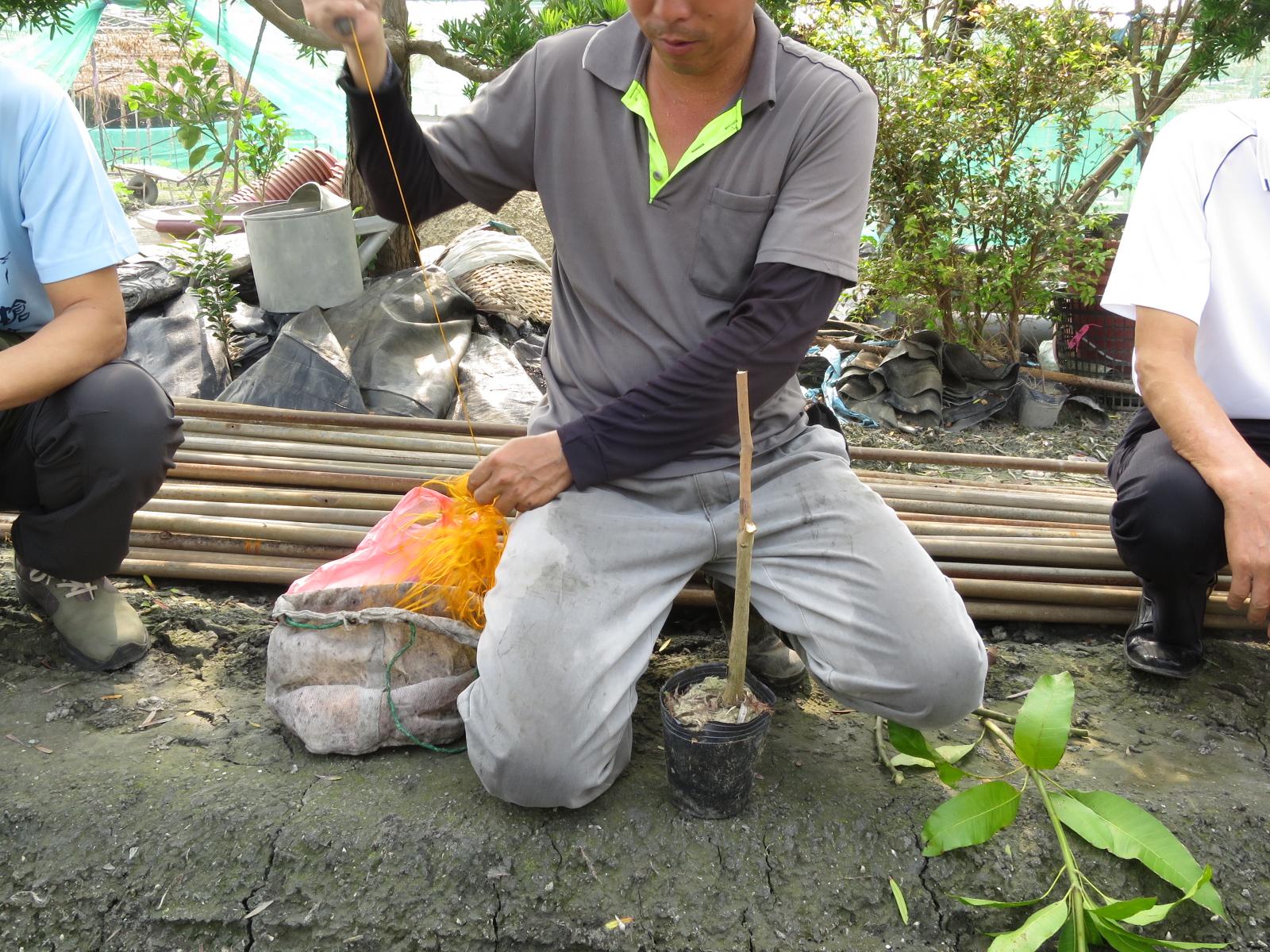 台湾の接ぎ木