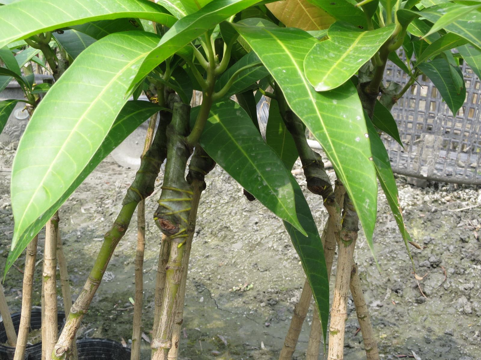 台湾の接ぎ木(マンゴー)