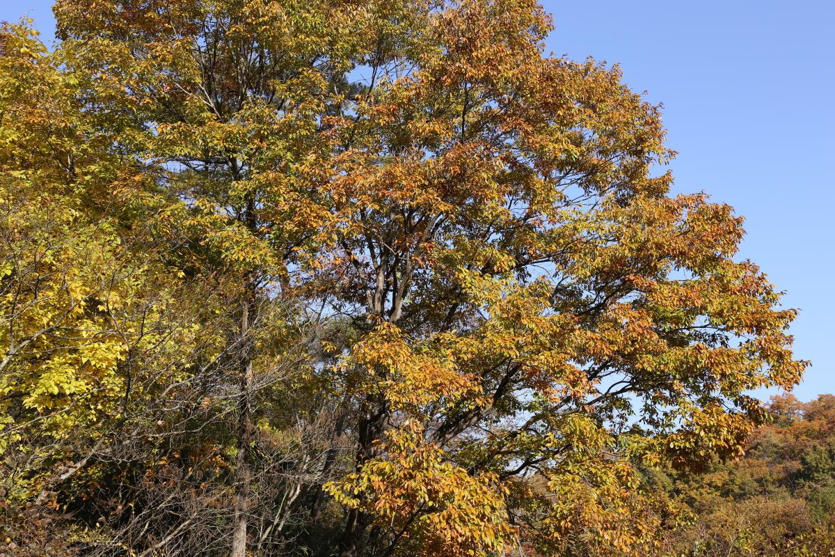 コナラの紅葉(那珂川町)