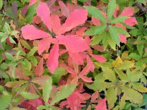 コナラの紅葉