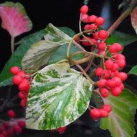 ハクサンボク'斑入り'の果実