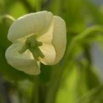シロバナアケビ(雌花)